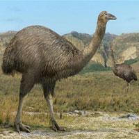 Loài chim nửa tấn nghi bị con người tàn sát đến tuyệt chủng