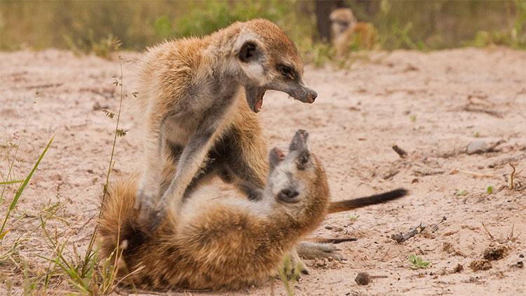 Cầy meerkat đầu đàn thường sống thọ