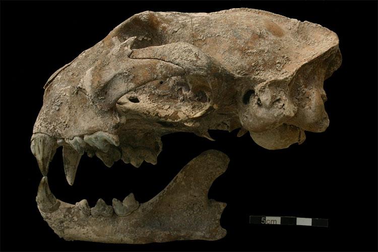 """Hộp sọ to lớn của """"quái thú"""" trong mộ cổ - được xác định là một chú báo sư tử đã được thuần hóa"""
