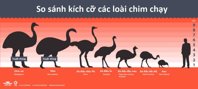 So sánh kích cỡ các loài chim chạy