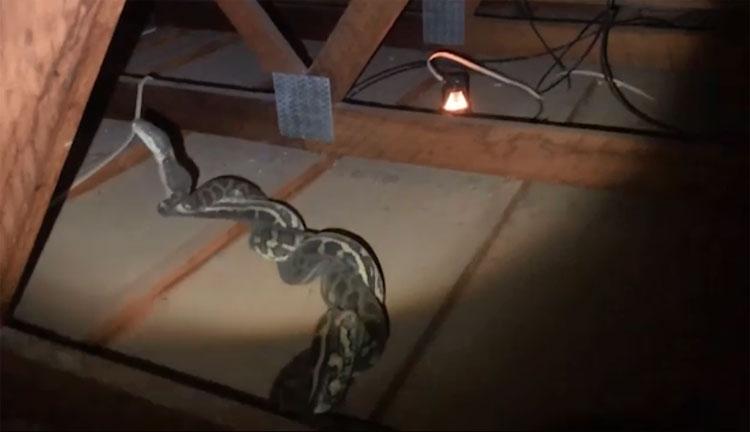 Hai con trăn đực kịch chiến trên gác mái