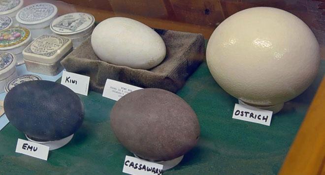 Trứng chim kiwi to không kém những loại trứng của con chim khác trong khi chim kiwi rất nhỏ.
