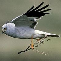 Sự biến mất bí ẩn của cá thể chim quý hiếm