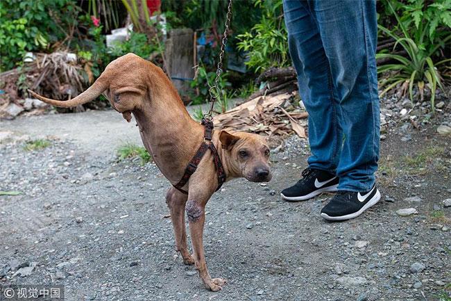 Từ khi đẻ ra, chú chó Putol đã khuyết tật, không có hai chân sau.