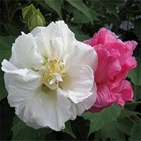 Điều đặc biệt ở loài hoa đổi ba màu trong một ngày