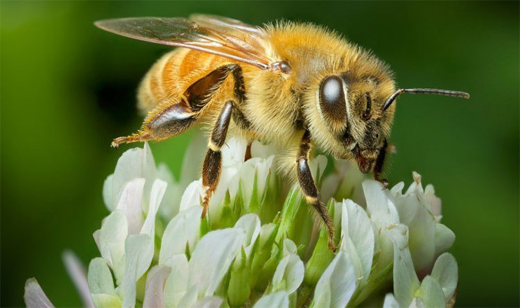 Melittin - Thành phần chính của nọc ong giúp điều trị bệnh viêm da dị ứng