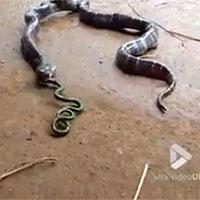 Kinh hoàng rắn oằn mình nôn ra rắn từ trong bụng