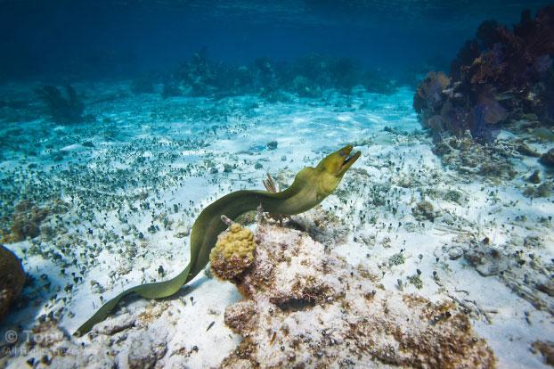 Có khoảng 200 loài cá chình Moray trên khắp thế giới.