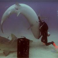 Thôi miên... cá mập, tại sao không?