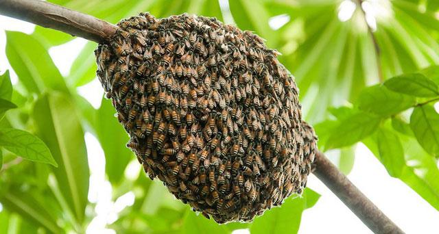 Cụm ong mật