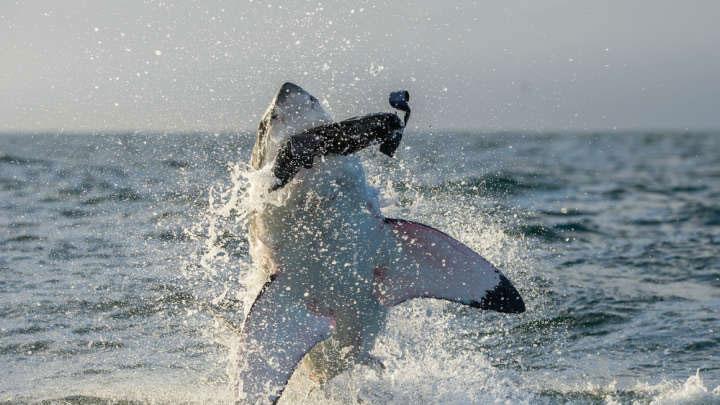 Cá mập trắng di cư với số lượng lớn hàng năm để kiếm ăn.