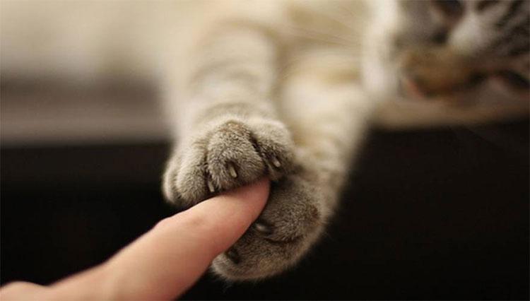 Chân mèo là bộ phận vô cùng nhạy cảm, nhất là lớp đệm chân.