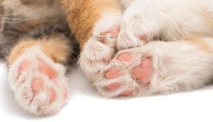 Mèo luôn sử dụng chân thuận để thực hiện các nhiệm vụ mang tính chất mạo hiểm.