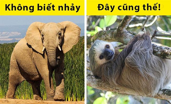 Trên thực tế thì có rất nhiều loài vật 4 chân cũng không thể nhảy, như hà mã, tê giác, hay con lười.