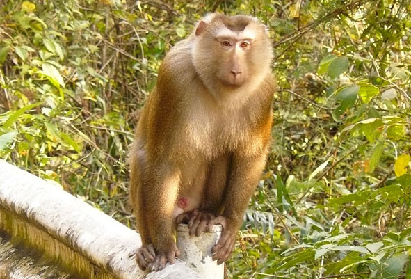 Khỉ đuôi lợn hoạt động kiếm ăn ban ngày, cả ở thung lũng, rừng thưa, trên cây cũng như dưới mặt đất.