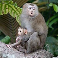 Khám phá loài khỉ có đuôi như lợn, vô cùng quý hiếm ở Việt Nam