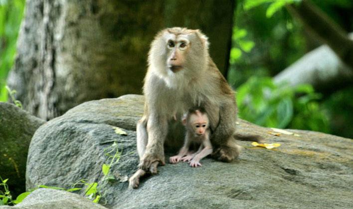 Khỉ đuôi lợn sống thành đàn từ 10 - 12 con, có đàn tới 40 con hoặc nhiều hơn nữa.