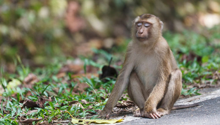 Ở Việt Nam, khỉ đuôi lợn phân bố ở Lào Cai, Yên Bái, Sơn La, Hà Giang, Bắc Kạn, Thái Nguyên, Hòa Bình.