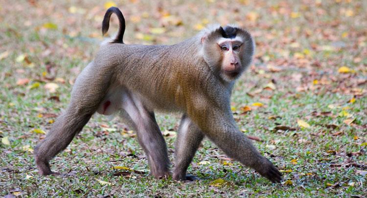 Trên thế giới, khỉ đuôi lợn phân bố ở Bangladesh, Campuchia, Trung Quốc, Ấn Độ, Lào, Myanmar, Thái Lan