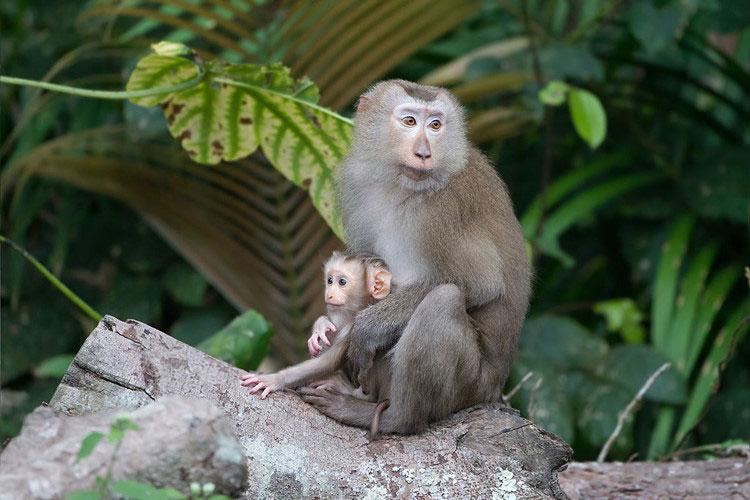 Khỉ đuôi lợn có bộ lông màu nâu nhạt