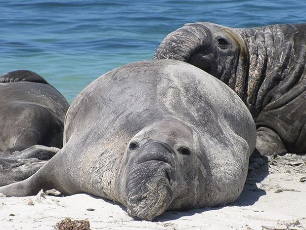 Những con hải tượng đang tắm nắng dưới bãi biển