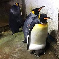 """Cặp cánh cụt đồng tính âm mưu """"bắt cóc"""" cánh cụt con về nuôi"""
