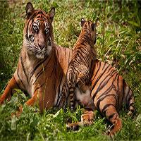 Hổ Nepal đang hồi sinh, số lượng tăng gấp đôi chỉ trong chưa đầy 1 thập kỷ