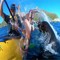 Hải cẩu tát bạch tuộc vào mặt người trên thuyền
