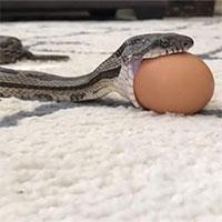 Cận cảnh rắn cật lực nuốt chửng trứng đầy hài hước