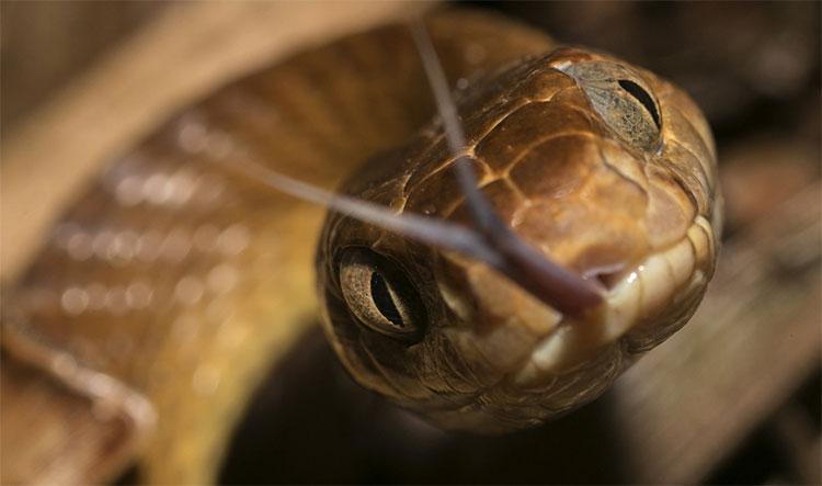 Loài rắn rào cây đang xâm chiếm đảo Guam của Mỹ.