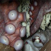 Bí mật đen tối ít người biết của loài bạch tuộc nay đã được khoa học khám phá