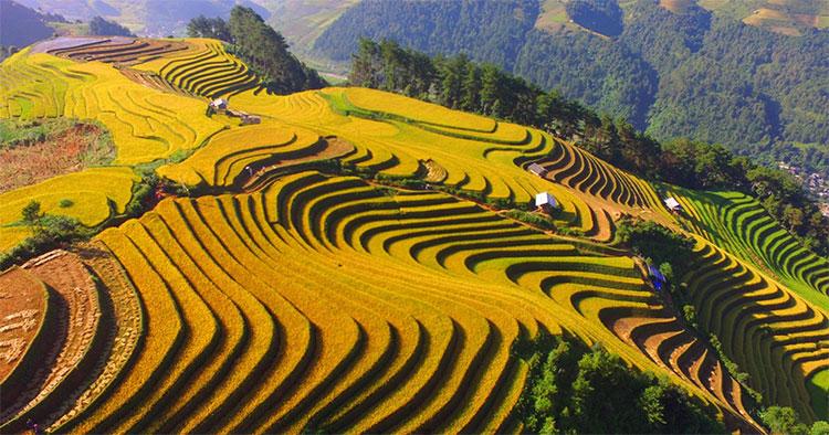 Theo chia sẻ của những người dân, năm nay lúa được mùa, vàng trĩu khắp các thửa ruộng bậc thang