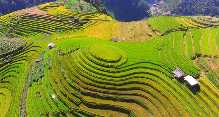 Đồi mâm xôi ở xã La Pán Tẩn là một trong những điểm đến nổi tiếng trong mùa vàng Mù Cang Chải