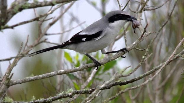 Chim bách thanh nổi tiếng với vẻ ngoài rất đẹp và đáng yêu.