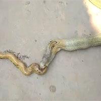 Rắn hổ mang khổng lồ nôn ra nguyên một con... rắn hổ mang