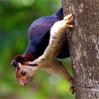 Ghé khu rừng Ấn Độ thăm loài sóc sặc sỡ nhất hành tinh: lòe loẹt như tranh vẽ
