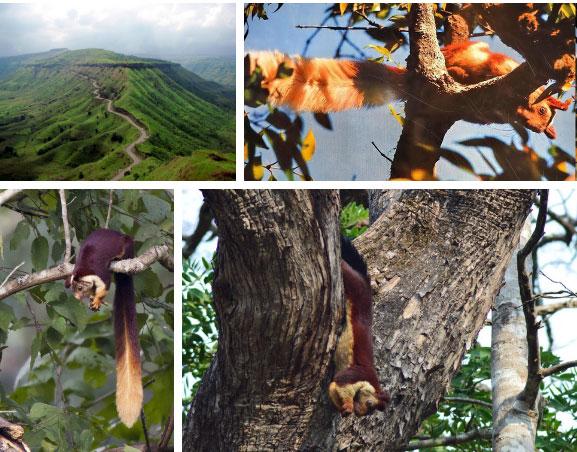 Sóc Ấn Độ từng bị xếp vào danh sách những loài có nguy cơ bị tuyệt chủng.