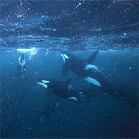 Đại dương bị đầu độc, một nửa số cá voi sát thủ sẽ chết