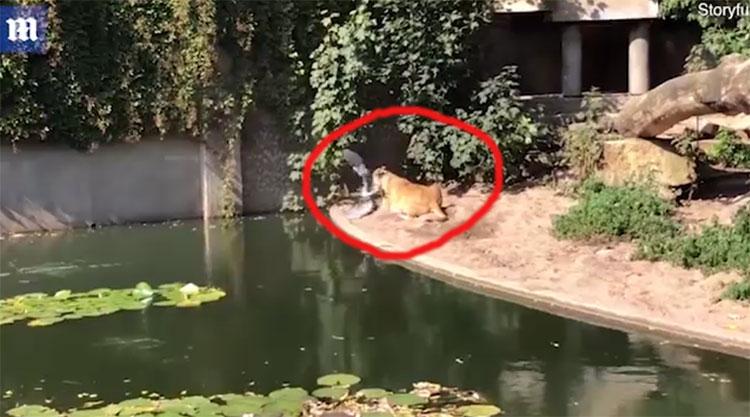 Con sư tử dùng chân trước của nó túm diệc xuống đất và ngoạm chặt con mồi trong miệng.