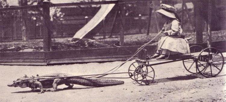 Bé gái thích thú ngồi trên xe do một con cá sấu kéo.