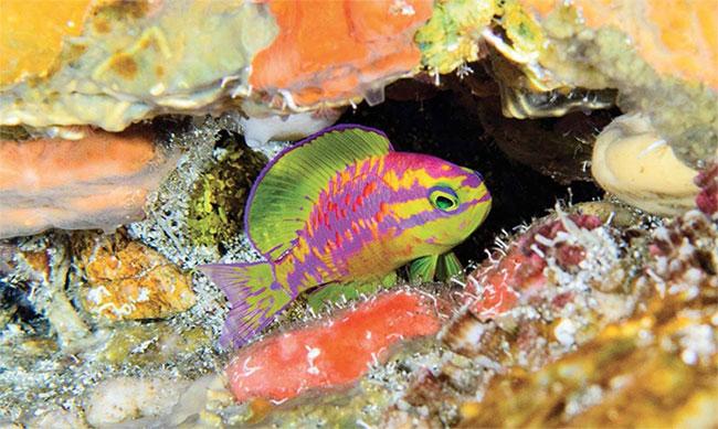 Các nhà nghiên cứu sinh vật biển cho rằng đây không phải là loài cá duy nhất ở vùng biển tối có màu sắc đặc biệt.