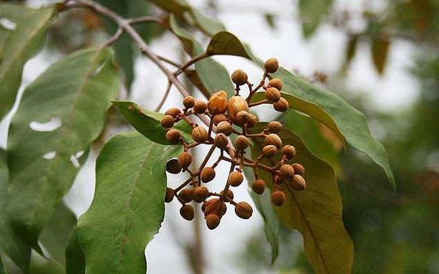 Chất chiết xuất từ lá cây Vismia baccifera có tiềm năng to lớn trong điều trị ung thư gan