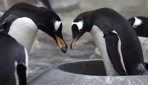 Chim cánh cụt đực chỉ cần nhặt đại một hòn đá đẹp nào để cầu hôn là được rồi.