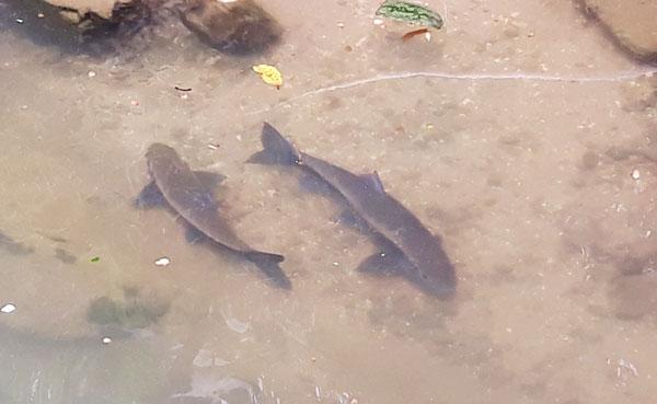 2 con cá được ông Đào A Son, xã Bản Hồ nuôi nhiều năm trong ao nhà.