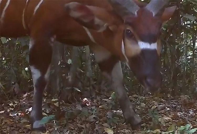 Các nhà khoa học mới đây đã phát hiện ra loài linh dương rừng lớn nhất thế giới có mặt tại Uganda.