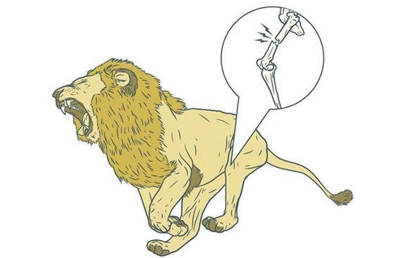 Sư tử sẽ không còn khả năng chạy đủ nhanh để bắt con mồi nữa.