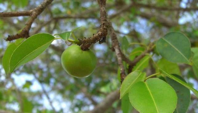 Cây Manchineel