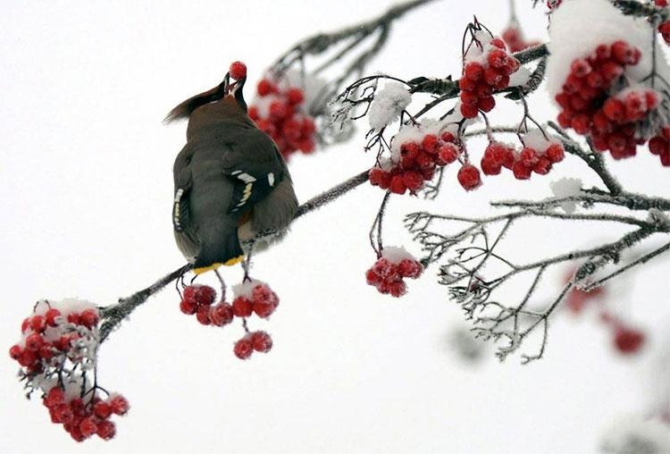 Chim có thể say xỉn do ăn những loại quả mọng nước lên men.
