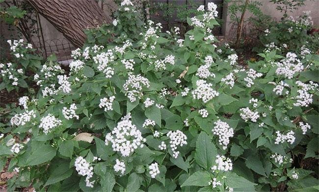 Loài cây này có độc tính rất mạnh, mang tên tremetol.