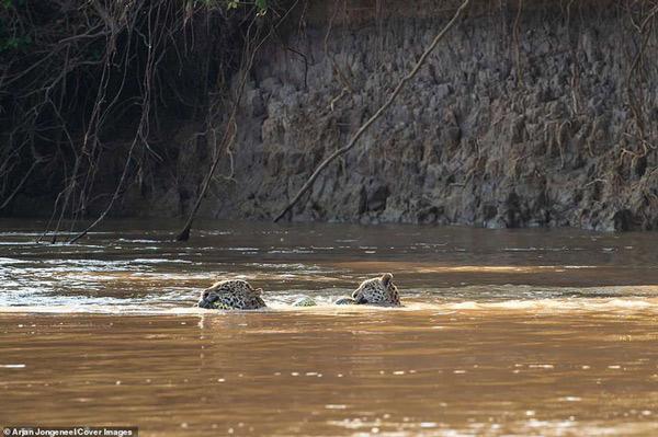 Hai mẹ con báo đốm cùng nhau ôm xác trăn anaconda qua sông